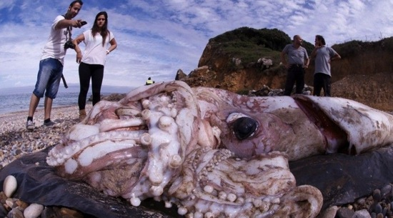 Giant squid spain